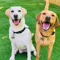 Hero & Stan the Labradors